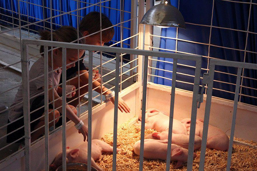 Kids observe and pet small pigs in the petting zoo.