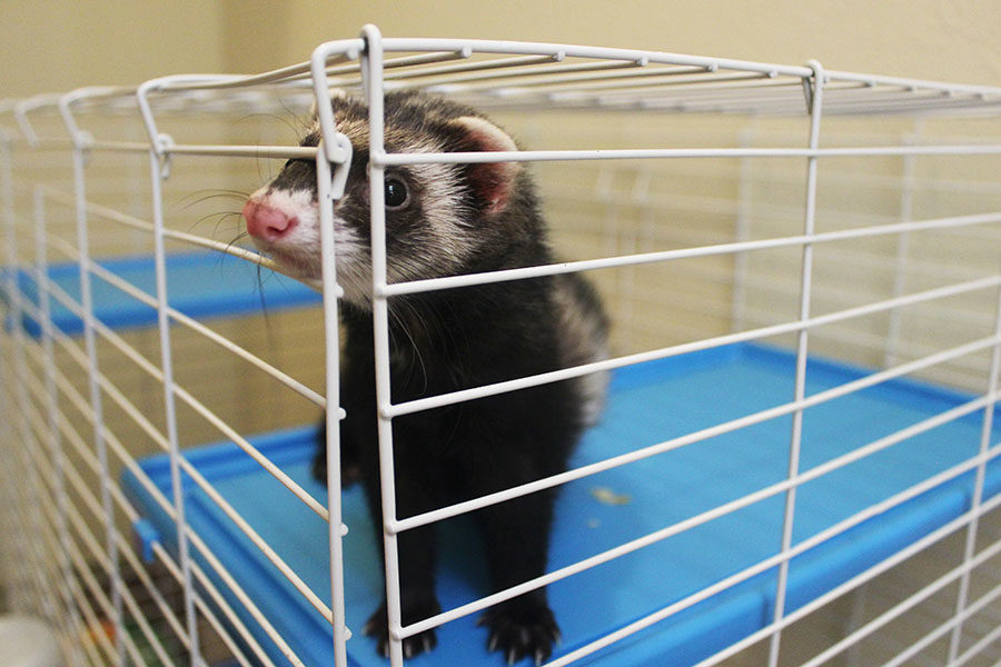 I never knew ferrets existed until my mom came home one day with ferrets in separate boxes.