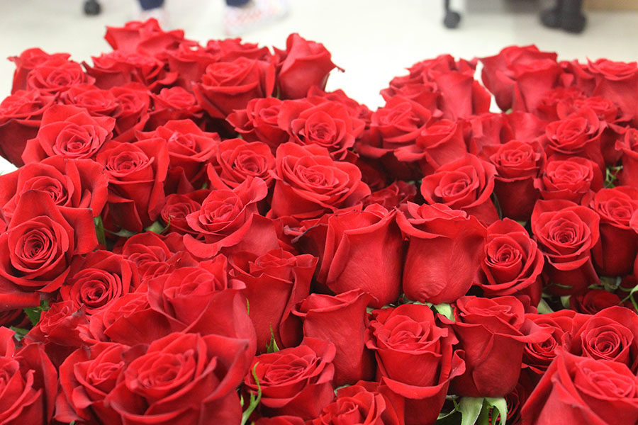 Roses before theyre cut and prepared for the senior class.