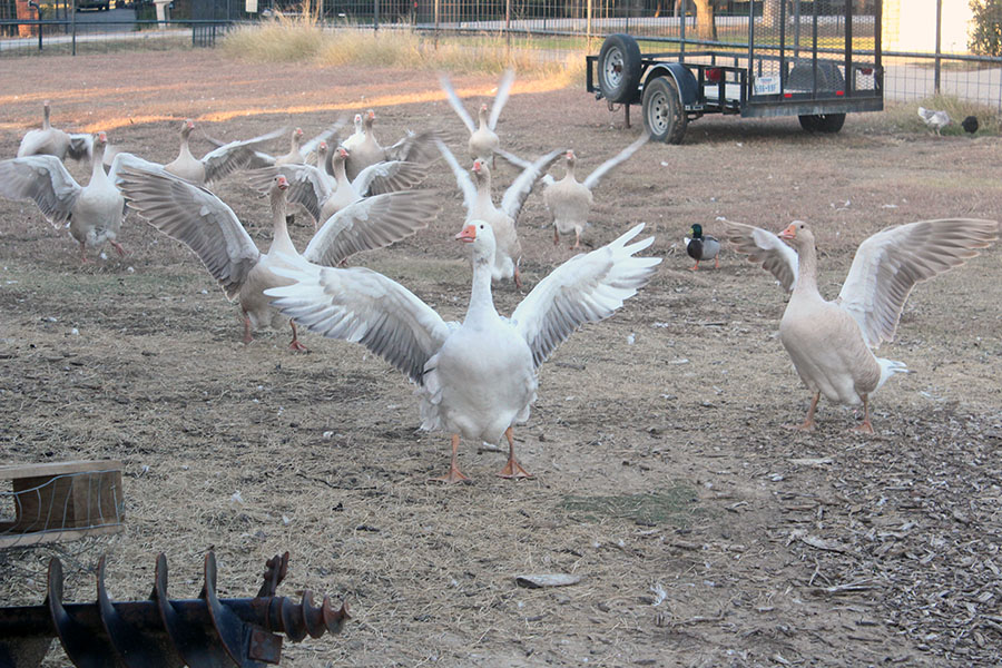A flock of geese fly toward the area where the chickens and roosters reside.