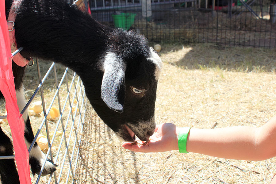 A young girl feeds a goat at the petting zoo.